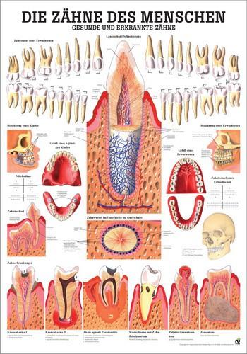 Gesunde und erkrankte Zähne, 70 x 100 cm, laminiert