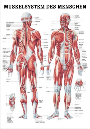 Muskelsystem des Menschen, 70 x 100 cm, papier