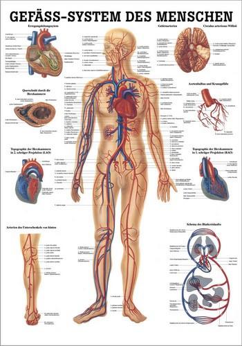 Gefäßsystem des Menschen