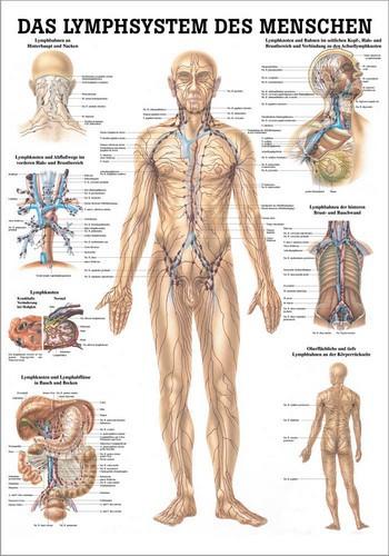 Das Lymphsystem des Menschen