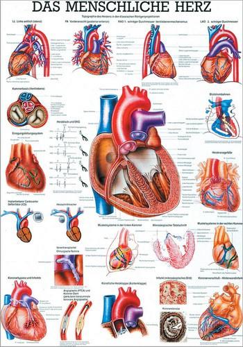 Das menschliche Herz, 24 x 34 cm, papier