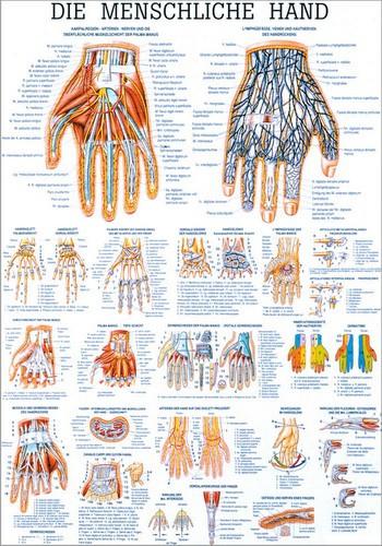 Die menschliche Hand, 70 x 100 cm, laminiert