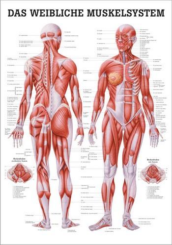 Das Weibliche Muskelsystem, 50 x 70 cm, laminiert