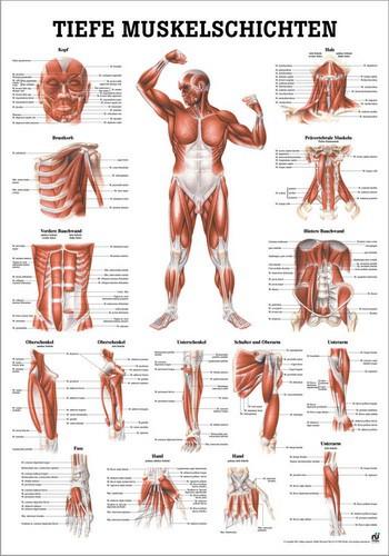 Tiefe Muskelschichten, Frontansicht, 70 x 100 cm, laminiert