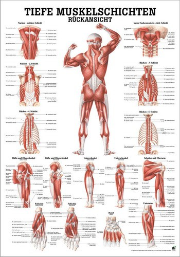 Tiefe Muskelschichten, Rückansicht, 24 x 34 cm, laminiert