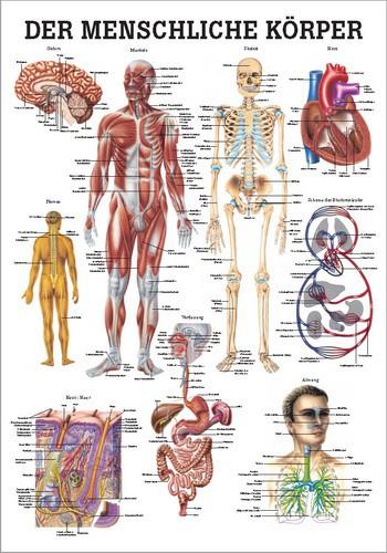Der Menschliche Körper, 70 x 100 cm, papier