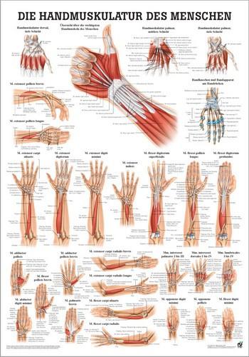 Handmuskulatur des Menschen, 24 x 34 cm, papier