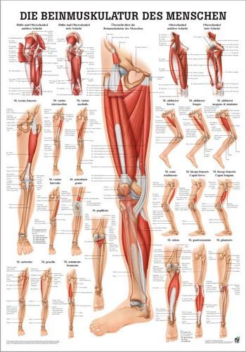 Beinmuskulatur des Menschen, 24 x 34 cm, papier