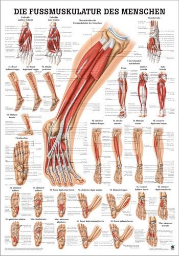 Fußmuskulatur des Menschen, 24 x 34 cm, papier