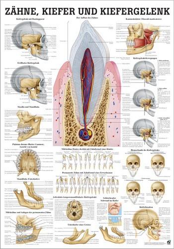Zähne, Kiefer und Kiefergelenk, 70 x 100 cm, laminiert