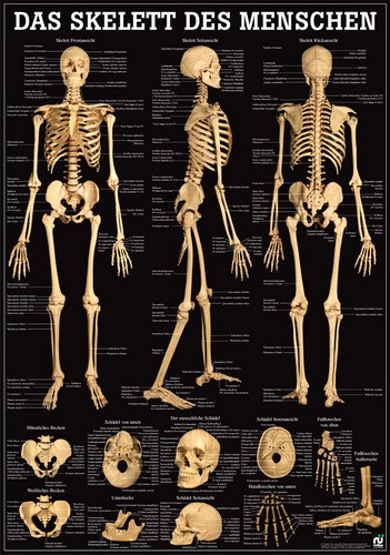 Das Skelett des Menschen, 70 x 100 cm, laminiert
