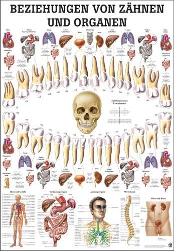 Beziehungen von Organen und Zähnen 24 x 34 cm