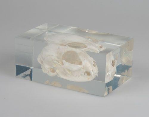 Katzenschaedel in Kunststoffblock