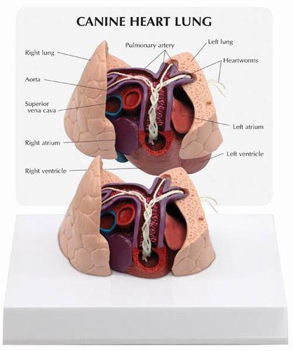 Hundeherz und -Lunge mit Herzwurm