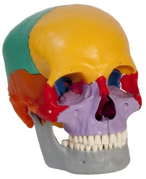 Skelett mit farbigem Steckschädel