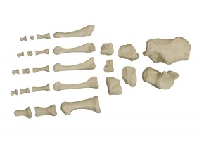 Homo-Skelett, unmontiert, entgratet