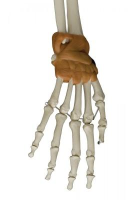Skelett mit 6 Gelenkbändern